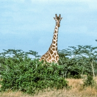 Giraffe Kenya Highlands