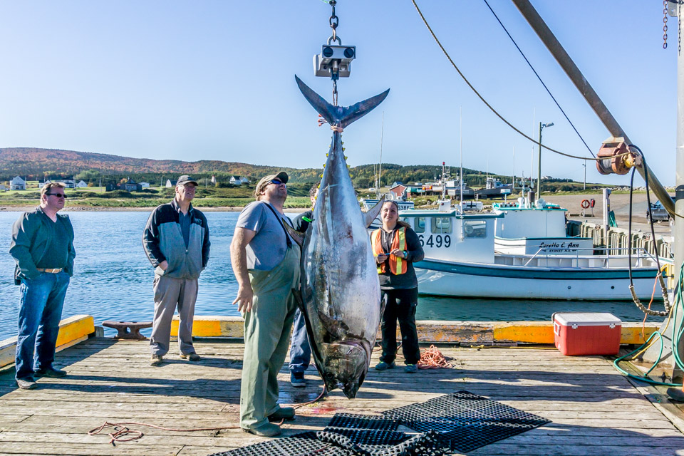 Tuna Catch Margaree Harbour